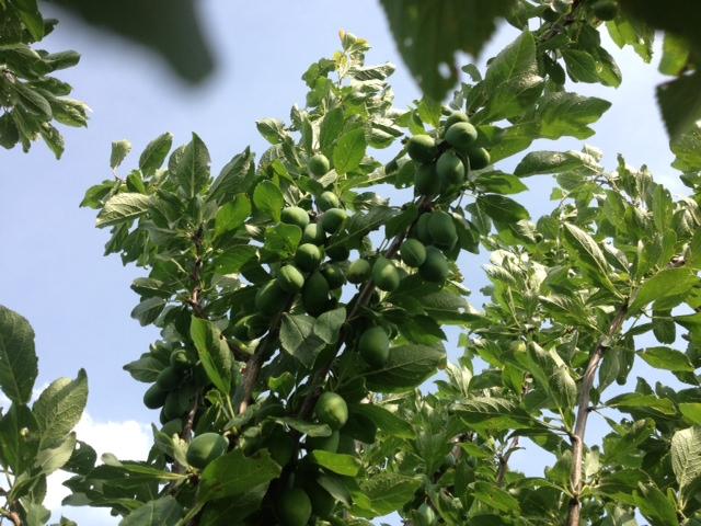 plums-2013