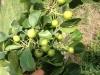 asian-pears-62513