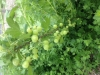 gooseberries-62513