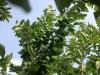 plums-2013_0