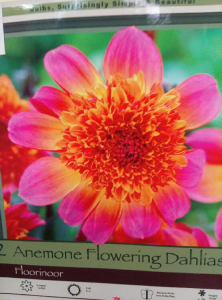 Neon Colored Dahlia