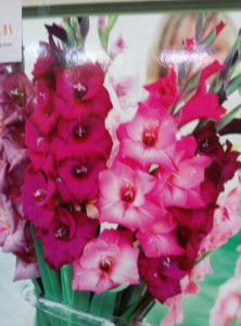 Pink Red Gladiola Mix